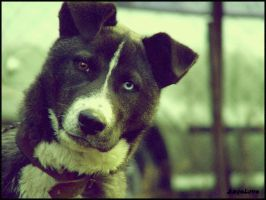 the old man's Husky.. by Ange-L-ove