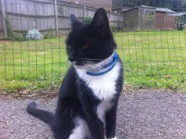 Blue collared Black and white cat by FFDP-Korpiklaaniguy