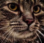 The Cat by jchristianh