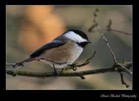 Black-Capped Chickadee 2 by seanbeckettvt