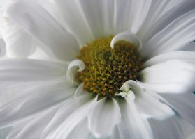 Heart of a daisy 2 by LucieG-Stock