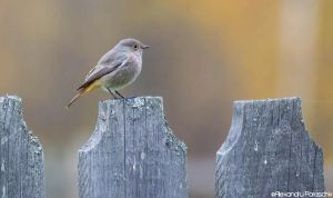 Black Redstart by AlecsPS