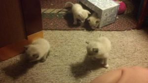 Kittens 4 weeks by SpiralClue