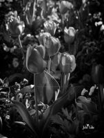 Tulips in Spring by jewles654