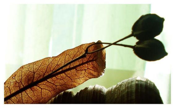 old leaf by Aorea