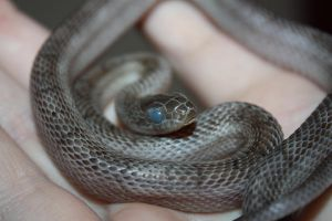 Blue Corn Snake by icantthinkofaname-09