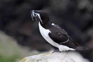 Colourful monotones - Razorbill by Jamie-MacArthur