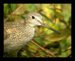 Greater Yellowlegs Facial by swashbuckler