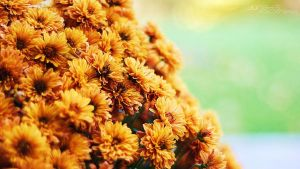 Fall marigolds by junaid16