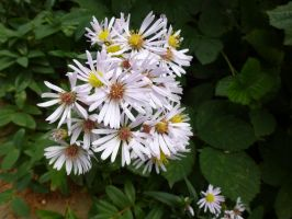 Aster in Park by SrTw