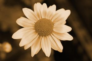 Sepia flower 1 by a6-k