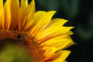 Sunflower and bee by StuckRainbow