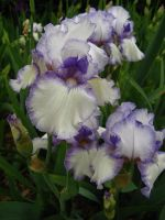 White and Violet Iris by Earthmagic