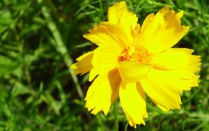 Yellow Flower 1920x1200 by Seph-the-Zeth
