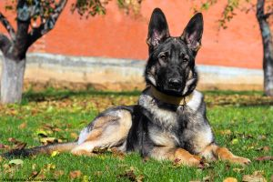 German Shepherd Portrait I by OrangeRoom