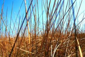 Reed background 1 by photohouse
