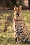 Sitting Serval by darkSoul4Life