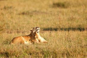 African Lion 59 by catman-suha