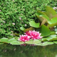 Red water lily 1 by Kattvinge