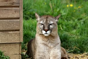 Cougar 1 by Tigerlover4