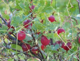 Gooseberries 3 by Kattvinge
