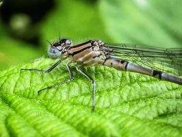 White-legged Damselfly by iriscup