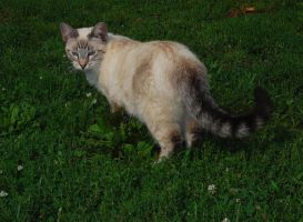 Tabby Siamese Cross 4 by Snowyowl88-Stock