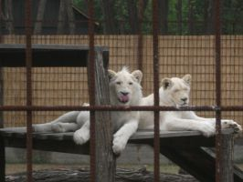 white lions - grown up already by LilDash