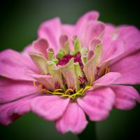 Pink Zinnia Macro by nprkr