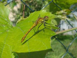 dragonfly by endrius