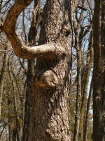 Devil's Lake-- Tree Face2 by iluvobiwan91