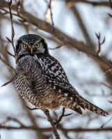 Northern hawk-owl - Backlit by JestePhotography