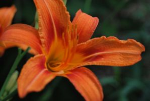 Tiger Lily 4 by coffeenoir