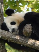 Giant panda by Cansounofargentina