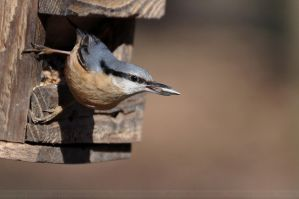 Nuthatch (009) - Nuthatch with Sunflower Seed by Sikaris