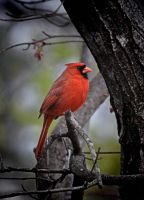 Male Cardinal 3-10-11 by Tailgun2009
