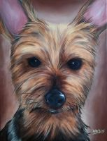 Yorkshire Terrier Dog Portrait by RavenMedia