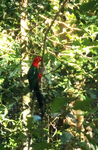 King Parrot by CrystalheartKey89
