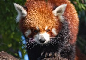 Red Panda 05 by DanielleMiner