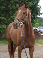 stock - horse10 by oldpost-stock