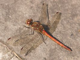 Dragonfly (1) by starykocur