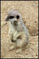 young meerkat by AzureHowlShilach