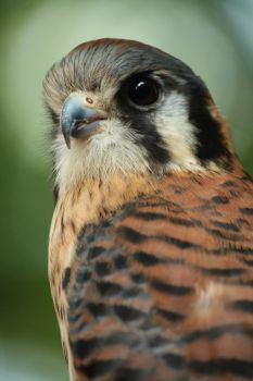 American Kestrel by EdgedFeather