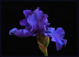 PURPLE IRIS 59 by THOM-B-FOTO