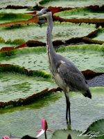gray heron by Stratege