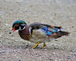 Why Would A Wood Duck Walk? by kc267267
