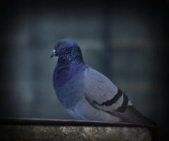 Pigeon 1 by jennystokes