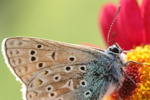 common blue butterfly close up by AngiWallace