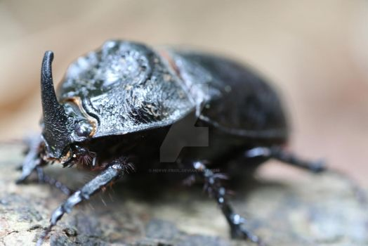 beetle in Malaysia by HERVE-FRIOL