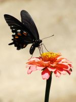 Pipevine Swallowtail by huldapp